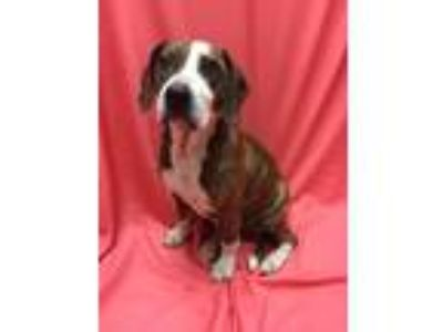 Adopt Mabel a Brindle - with White Basset Hound / Boxer / Mixed dog in Pomeroy