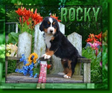 Rocky Male Bernese Mountain Dog AKC