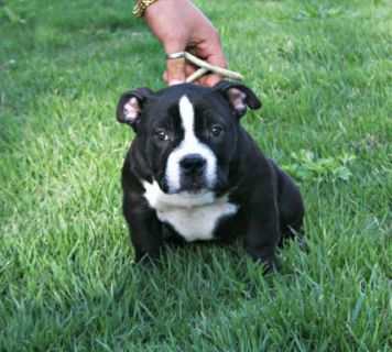 American Bully PUPPY FOR SALE ADN-78038 - Pocket American Bully