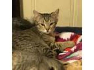 Adopt Napoleon Dynamite a Gray or Blue Domestic Shorthair cat in Dallas