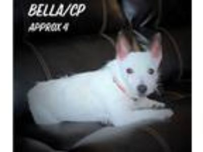 Adopt Bella/CP a White Jack Russell Terrier / Mixed dog in Columbia