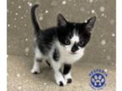 Adopt a White (Mostly) Domestic Shorthair / Mixed (short coat) cat in Hesperia