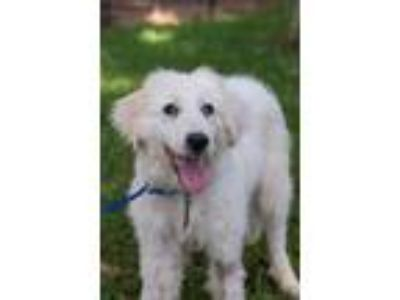 Adopt Lorena a White Great Pyrenees / Mixed dog in Spring, TX (25639426)