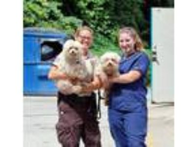 Adopt Curly a White Poodle (Standard) / Mixed dog in Charleston, WV (25660638)