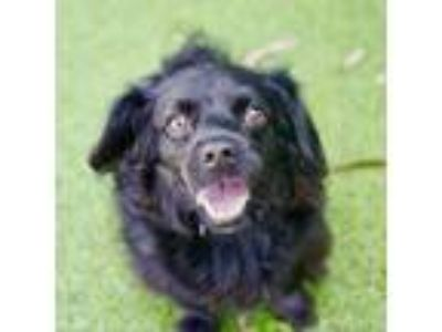 Adopt Lady Maple a Black Spaniel (Unknown Type) dog in Culver City