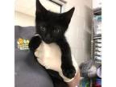 Adopt Slide a Domestic Short Hair