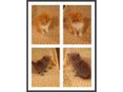 Beautiful Registered Persian Kittens Looking For Their Forever Homes