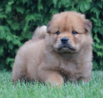Chow Chow PUPPY FOR SALE ADN-89387 - AKC Lennox AMAZING CHOW CHOW PUPPY