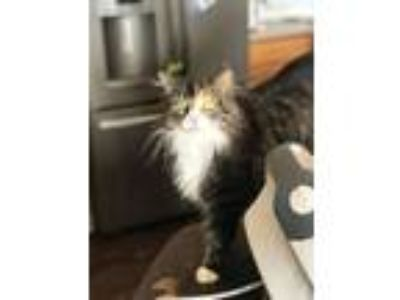 Adopt Pineapple a Maine Coon, Domestic Long Hair