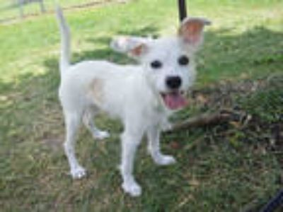 Adopt ALFFIE a White Jack Russell Terrier / Mixed dog in Texas City