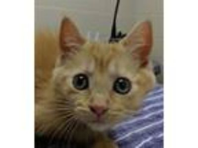 Adopt Lazeez a Domestic Short Hair