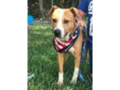 Adopt Murphy a Tan/Yellow/Fawn - with White Boxer / Mixed dog in Midlothian