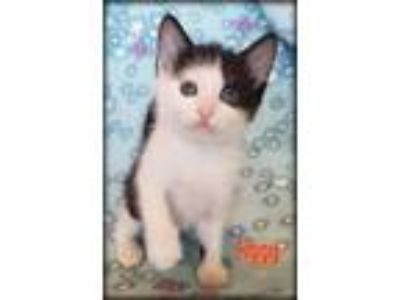 Adopt Ziggy a Domestic Medium Hair, Domestic Short Hair