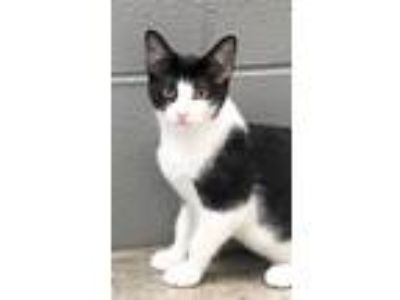 Adopt Daisy a Domestic Shorthair / Mixed (short coat) cat in Clinton