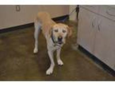 Adopt Found stray: Darren a Tan/Yellow/Fawn Labrador Retriever / Mixed dog in
