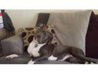Adopt Aiko Blu- Courtesy Listing a Pit Bull Terrier
