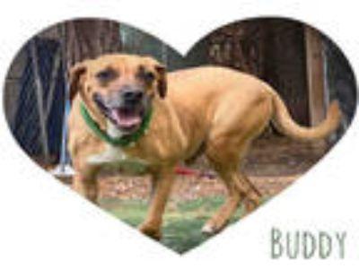 Adopt BUDDY a Brown/Chocolate Labrador Retriever / Mixed dog in Fort Walton
