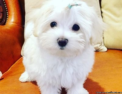 Maltese puppies for adoption!!!