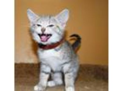Adopt Wistful a Gray, Blue or Silver Tabby Domestic Shorthair / Mixed (short