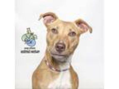 Adopt Fione a Pit Bull Terrier