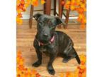 Adopt Momma Mia a Basset Hound, Pit Bull Terrier