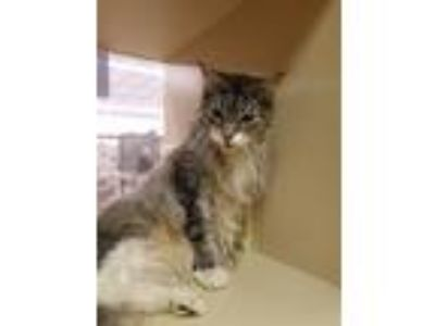 Adopt Chippy a Tiger Striped Maine Coon (long coat) cat in Salem, NH (25239892)