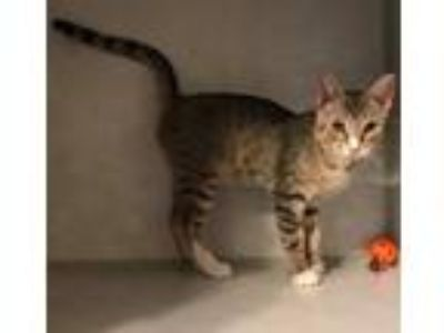 Adopt Warren a Brown Tabby Domestic Shorthair / Mixed (short coat) cat in