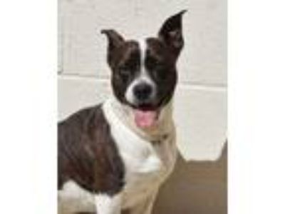 Adopt Leo a Brindle Boston Terrier / Mixed dog in Toccoa, GA (25154062)
