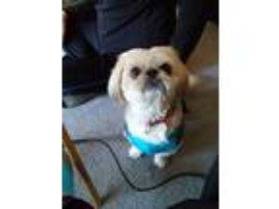 Adopt Cuddles a White Shih Tzu / Pekingese dog in Wisconsin Rapids