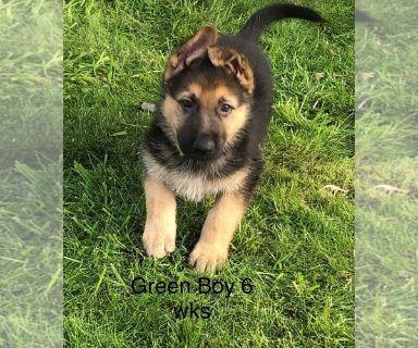 German Shepherd Dog PUPPY FOR SALE ADN-131310 - AKC German Shepherd Puppies