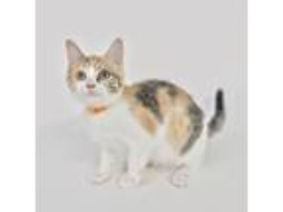 Adopt Cricket a Calico or Dilute Calico Domestic Shorthair cat in Columbus