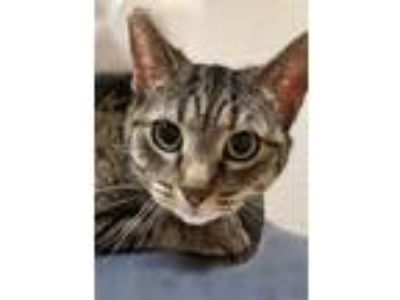Adopt Honey a Gray, Blue or Silver Tabby Domestic Shorthair (short coat) cat in