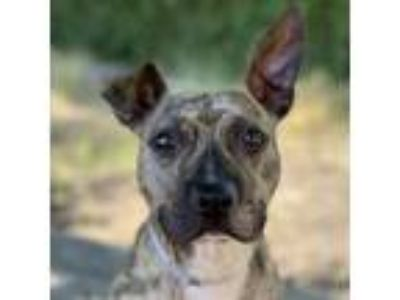 Adopt Rico a Brindle - with White Pit Bull Terrier / Mixed dog in Oakland