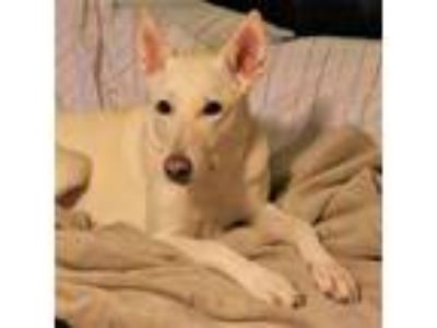 Adopt Sophie a German Shepherd Dog