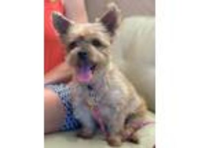 Adopt ALLIE a Yorkshire Terrier