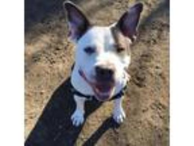 Adopt Miss Piggy a White American Pit Bull Terrier / Mixed dog in Menands