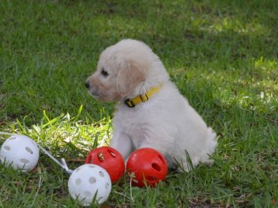 Goldendoodle PUPPY FOR SALE ADN-77804 - F1 standard Goldendoodles