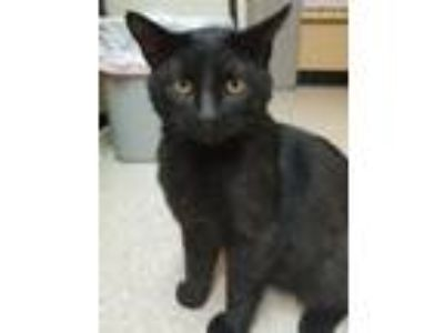 Adopt Roamer a All Black Bombay (short coat) cat in Albany, NY (25569788)