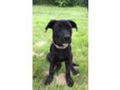 Adopt Pepa a Black Labrador Retriever / Australian Shepherd / Mixed dog in St