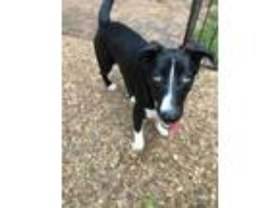 Adopt Skunk a Black - with White Border Collie / Mixed Breed (Medium) / Mixed