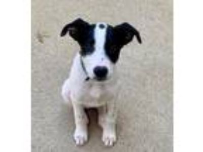 Adopt Bailey a White - with Black Pointer / Labrador Retriever / Mixed dog in