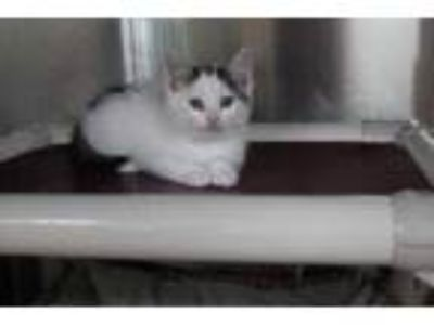 Adopt Anita a White Domestic Shorthair / Domestic Shorthair / Mixed cat in