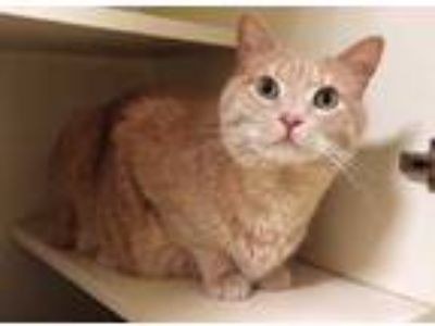 Adopt Hef a Tan or Fawn Domestic Shorthair / Domestic Shorthair / Mixed cat in