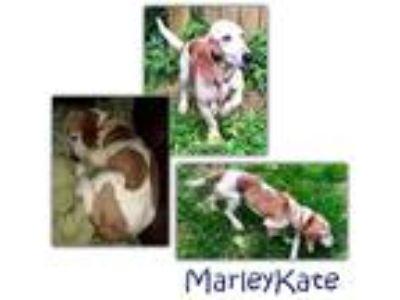 Adopt Marley Kate a White - with Red, Golden, Orange or Chestnut Basset Hound /