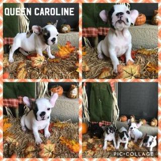 French Bulldog PUPPY FOR SALE ADN-98399 - Champion Sired French Bulldogs AKC Registered