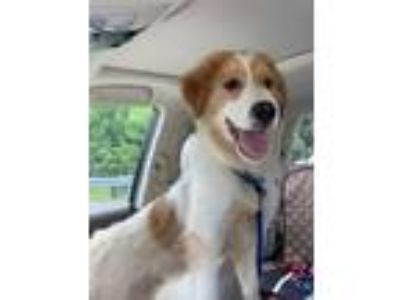 Adopt Brady a White - with Tan, Yellow or Fawn Collie / Great Pyrenees / Mixed
