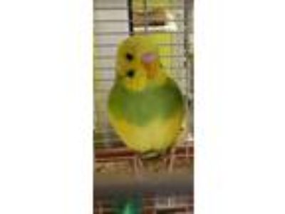 Adopt Mystery a Green Budgie / Budgie / Mixed bird in Auburn, WA (25520180)
