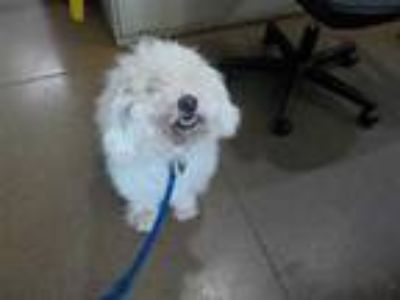 Adopt BUBBA a White Poodle (Miniature) / Mixed dog in Temple, TX (25302695)