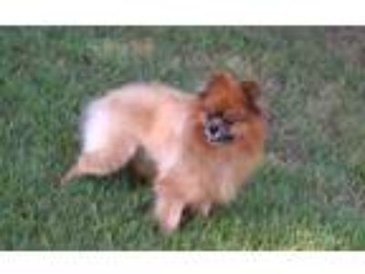 Adopt Ezrah a Red/Golden/Orange/Chestnut Pomeranian / Mixed dog in Walpole