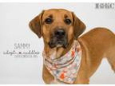 Adopt Sammy a German Shepherd Dog, Labrador Retriever